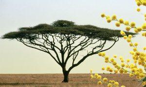 El Arbol de Acacia